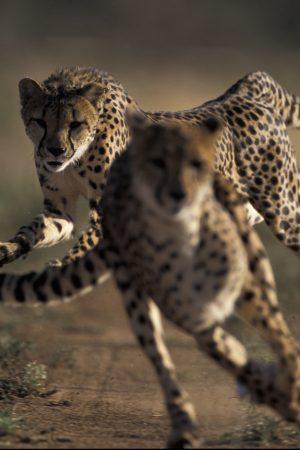 Cheetahs running. Namibia